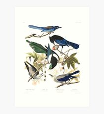 Magpies, Jays & nutcrackers - John James Audubon Art Print