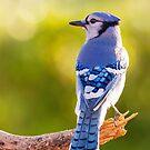 Blue Jay in October by MIRCEA COSTINA