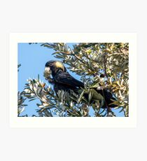 Yellow-tailed black cockatoo Art Print