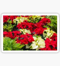 Poinsettia - greeting card Sticker