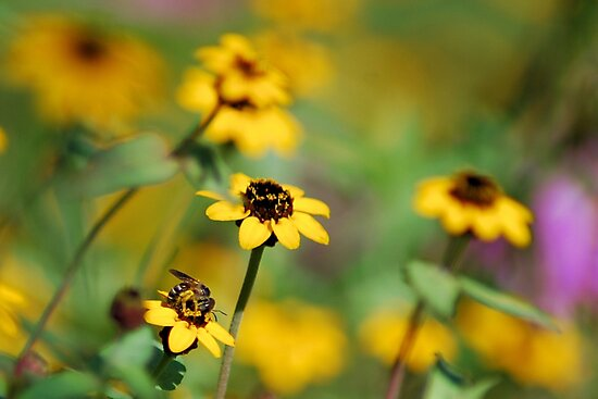 Bee in a yellow sea by Ben Waggoner