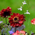 Dahlia flower by Andrew Jones