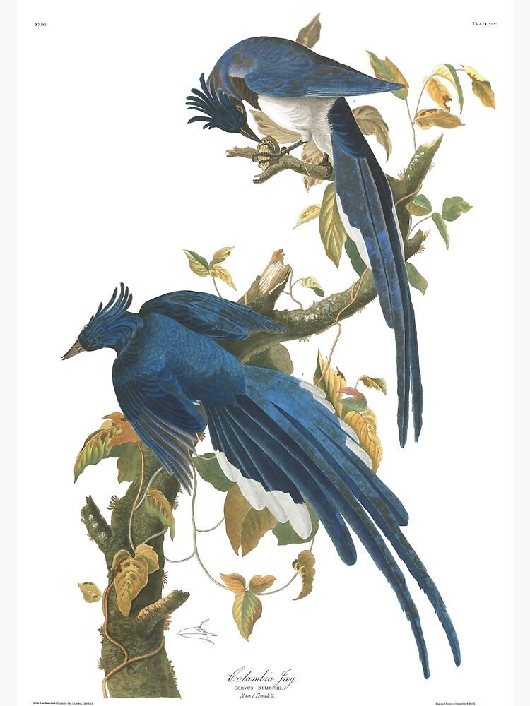 Steller's Jay - John James Audubon by billythekidtees