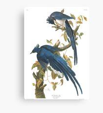 Steller's Jay - John James Audubon Canvas Print