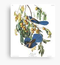 Florida Scrub Jay - John James Audubon Canvas Print
