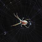 Green garden spider by richeriley