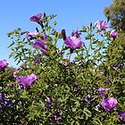 Native Hibiscus in Purple by kalaryder