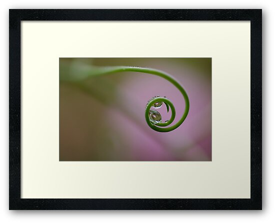 Dew drops on a Pea Curl by Clare Colins