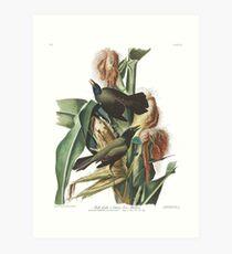 Common Grackle - John James Audubon Art Print