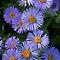 """The Aster & Sunflower Family"""