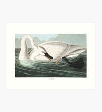 Trumpeter Swan - John James Audubon Art Print