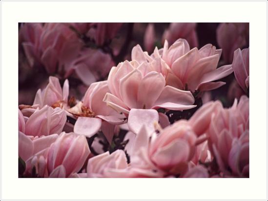 The Colour Pink - Magnolia by Carole Anne Ferris