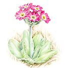 Primrose pink primula scotica by Sarah Trett