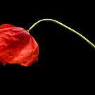 Poppy by Dan Shalloe