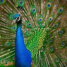 Peacock by Dan Shalloe