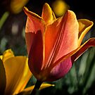 A Tulip in the City by cclaude