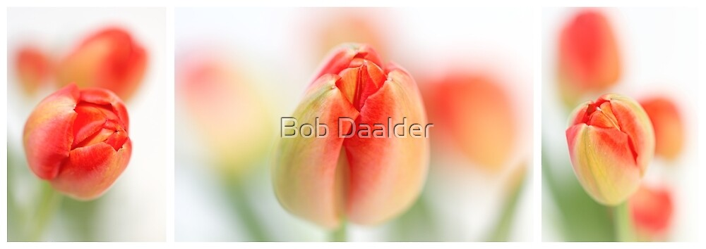 Fresh Tulips (Triptych....) by Bob Daalder