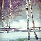 Two birches by Silvia Ganora