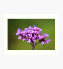 Verbena Bonariensis flowerhead Art Print