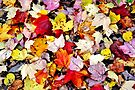 A Carpet of Maple Leaves by Kathleen Daley