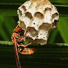 Paper wasps 00666 by kevin chippindall