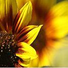 Colors of The Sunflower by mrsroadrunner