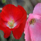 Poppy Flower Color by mrsroadrunner