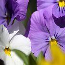 Pansy Flower Blooms by mrsroadrunner
