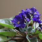 African Violet by Tieras