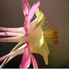 Classic Columbine Flower Bloom by mrsroadrunner