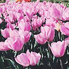 pink tulips by karenanderson
