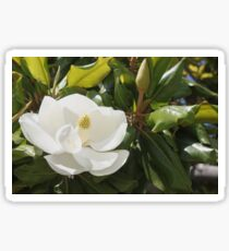 The Magnolia tree is in bloom..... Sticker