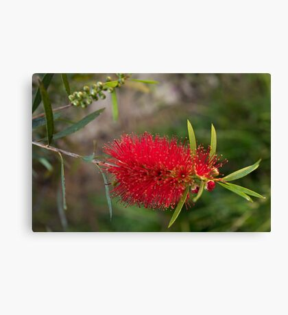 Calistamon Red Canvas Print