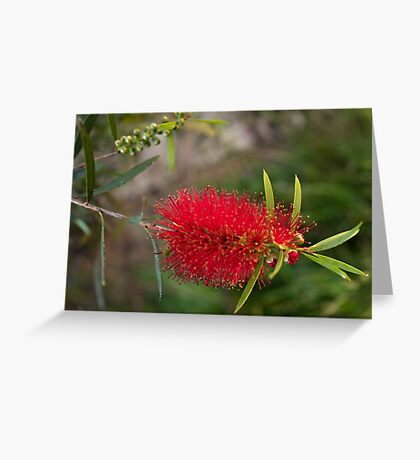 Calistamon Red Greeting Card