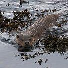 Shetland Otter by wildlifephoto