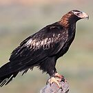 Wedge-tailed Eagle from Australian Outback  by Seesee
