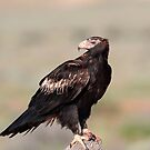 Female Wedge-tailed Eagle from Australian Outback by Seesee