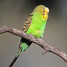 Lonely Budgerigar  by Seesee