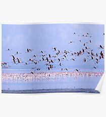 A flock of pink Flamingos in lake naivasha, Kenya,  Poster