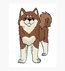Finnish Lapphund (Brown with Light Markings) Photographic Print
