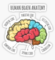 Human Brain Anatomy Sketch Sticker