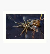 Young Raft Spider (Dolomedes fimbriatus) sitting on the surface of a pond, seemingly waiting for prey. Art Print