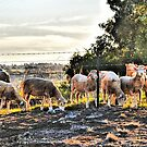 Shorn Sheep in the sunset. by George Petrovsky
