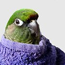 Wrapped Up - Maroon Bellied Conure by AndreaEL