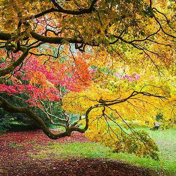 Japanese Maples (Acer Palmatum) in Autumn Colours by GrahamPrentice