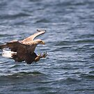 White-Tailed Sea Eagle by Karen Miller