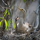 Australasian Darter and chick by Janette Rodgers