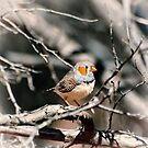 Zebra Finch among branches by Dilshara Hill