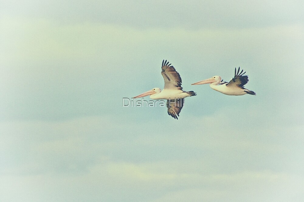 Pelicans in flight by Dilshara Hill