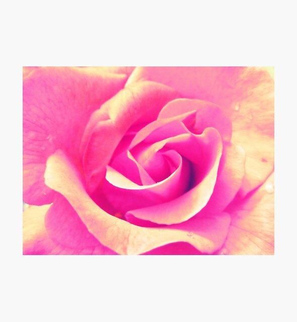 Rosenblüte - rosa - gelb - Wassertropfen - Rose - yellow - pink von Marion Waschk